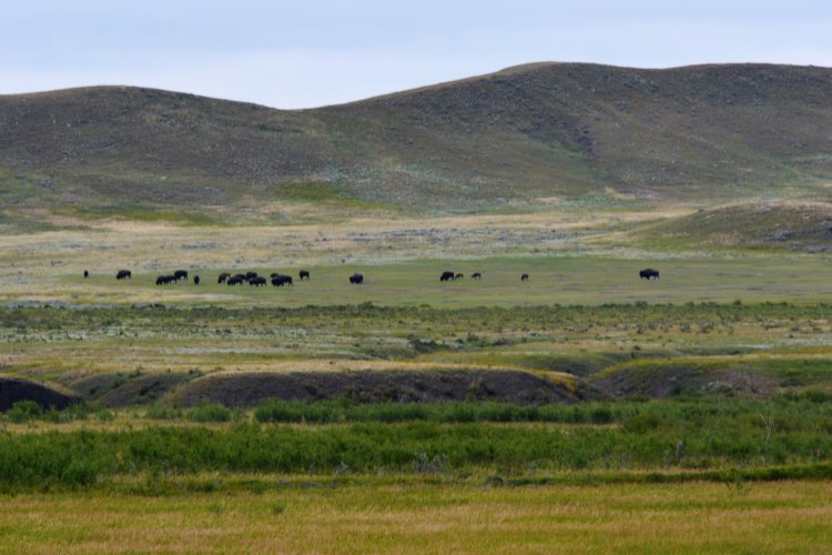 bison-herd-at-grasslands-national-park
