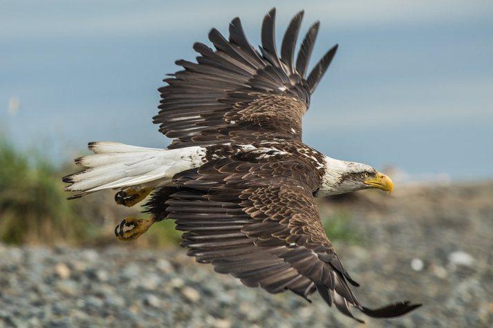 Weisskopfseeadler im Flug.