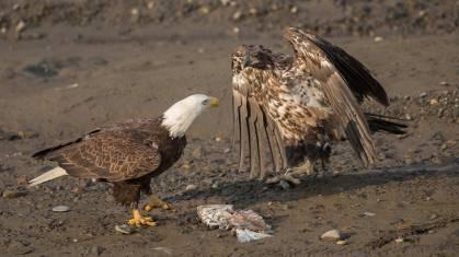 Ein junger Weisskopfseeadler (ohne weissen Kopf) erhält sein Futter.