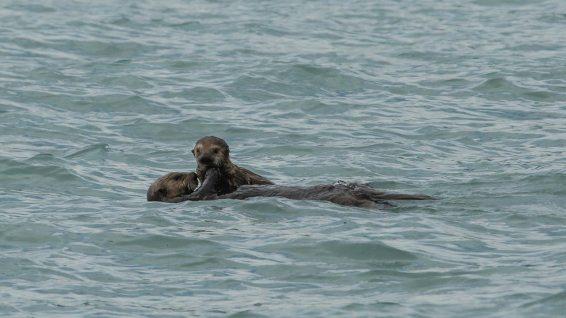 Seeotter-Babys bleiben ca. 6 Monate bei der Mutter.