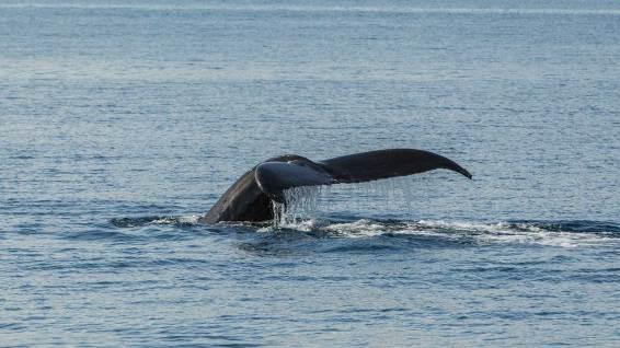 Buckelwal beim abtauchen.
