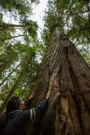 Gross sind sie ja, die Bäume… Sie sind bis zu 75 Meter hoch.
