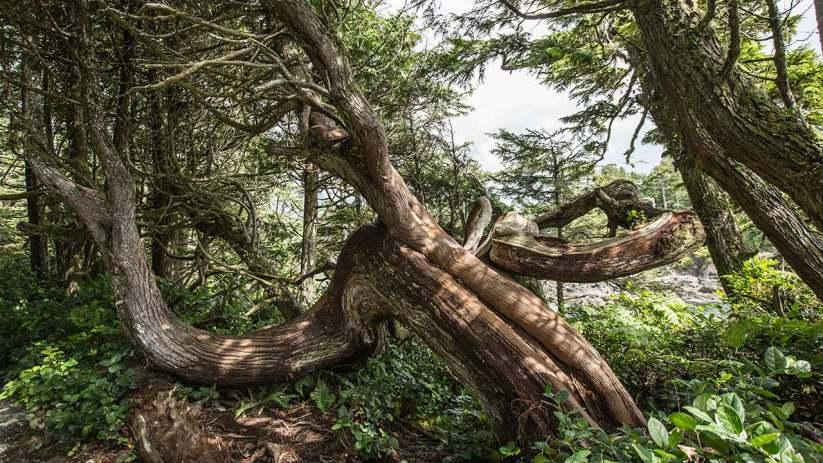 Die Bäume wachsen in alle Richtungen.