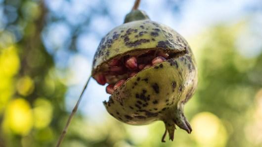 Ein gesprengter Granatapfel…