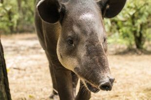 Tapir im Belize Zoo.