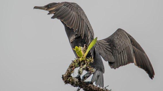 Kormorane gibt's auch im Dschungel... nicht nur auf den Galapagos.