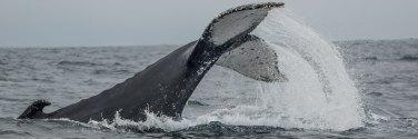 Wir jagen Wale bei Puerto Lopez.
