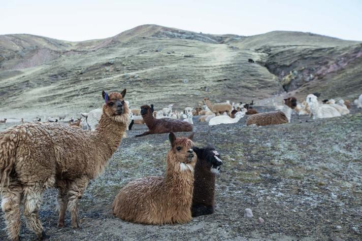 Vor Sonnenaufgang wandern wir los. Es hat noch Rauhreif auf den Alpacas.