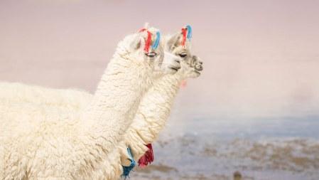 Die Tiere sind zur Erkennung hübsch geschmückt.