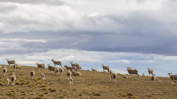 Schafe gibts hier überall.