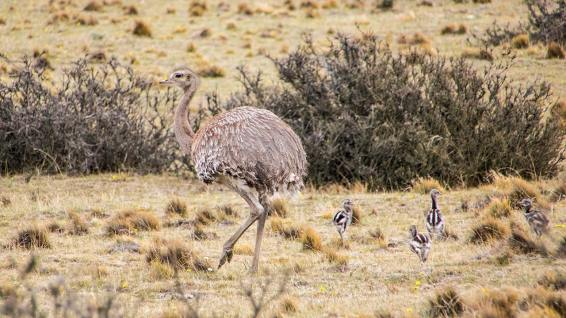 Die Wüste lebt. Die gut getarnten Nandus sind jedoch nur zu sehen, wenn sie sich bewegen.