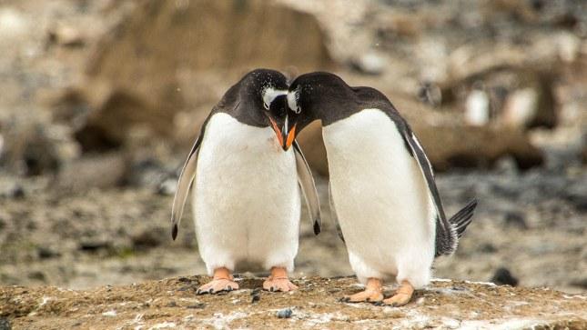 Zuerst kommt auch in der Antarktis die Liebe.