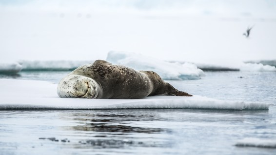 Und ich ein Leopard-Seal.