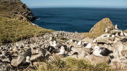 Wir präsentieren unsere hübsche Albatross-Kolonie auf den Falklands.