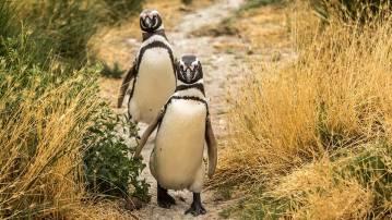 Pinguin-Highway zum Strand.