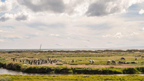 Schafe und Königspinguine teilen sich die Wiese.