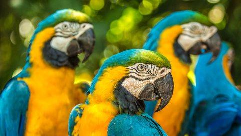 Papageien gibt es beinahe überall, ausser in Europa.