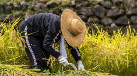 Der Reis wird von Hand geschnitten...