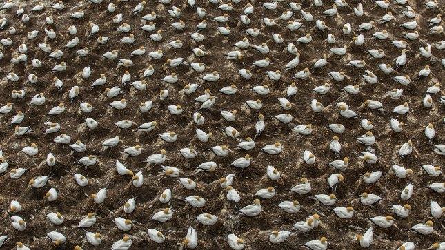 Der Abstand zwischen den Vögel beträgt genau eine Schnabellänge.