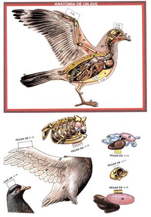 Recortables anatomía vertebrados - Actiludis