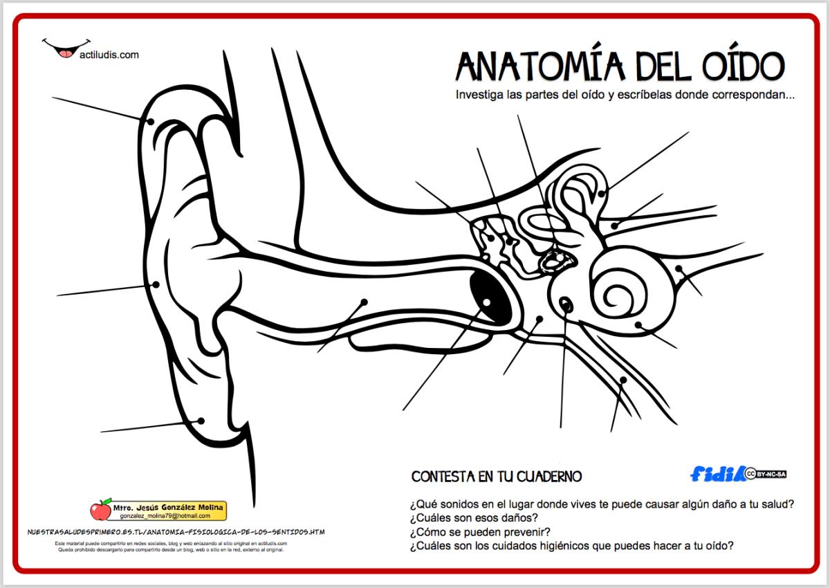 Anatomía del oído - Actiludis