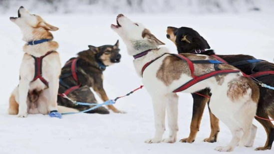 Dog Sledding Adventure, Safari In Sweden, 8 Days Expedition