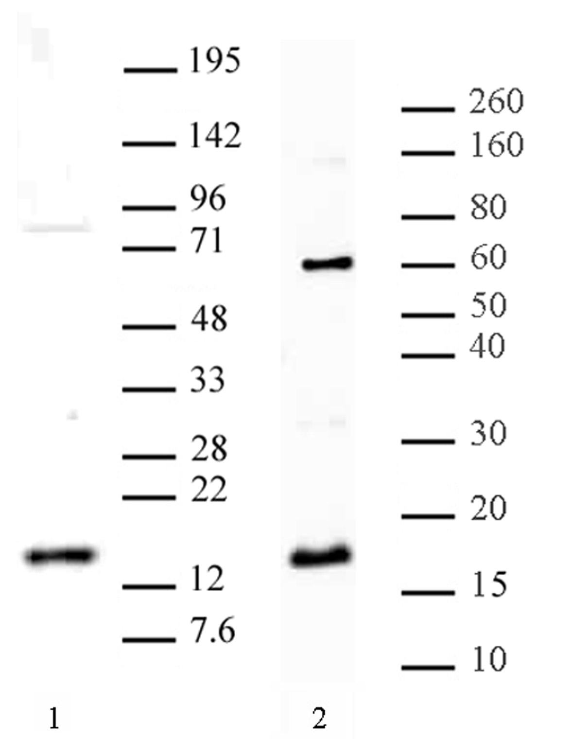 Histone H3 Dimethyl Arg8 Asymmetric Antibody Pab