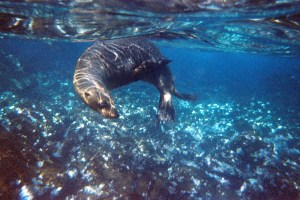 Snorkeling with sea lions in the Galapagos