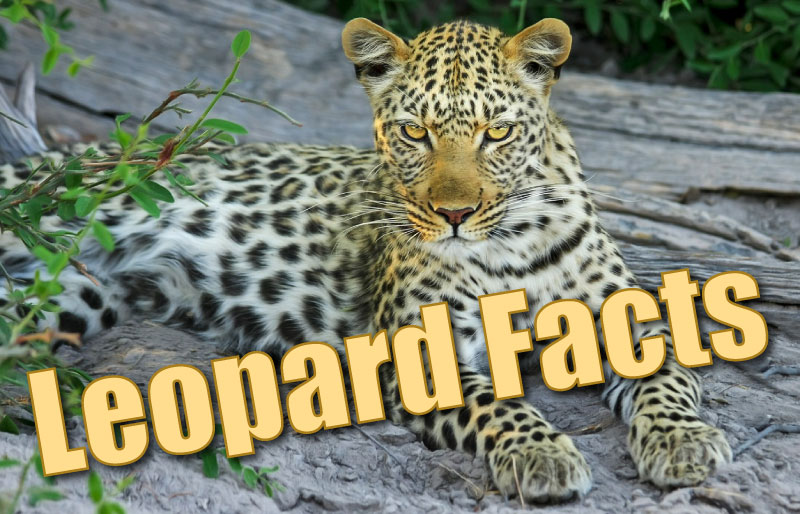 Leopard Facts For Kids Information Pictures Amp Activities