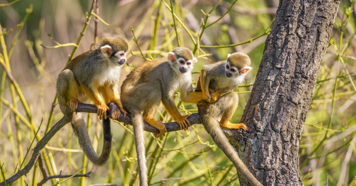 Animals found in the canopy layer of the rainforest. Amazon Rainforest Monkeys Pictures Facts Information