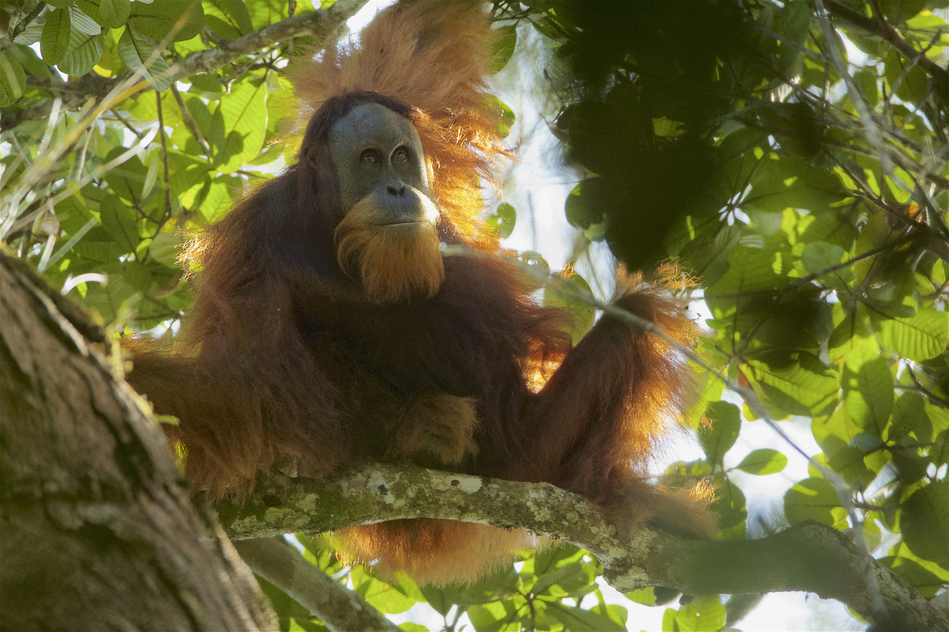 Tapanuli Orangutan Facts Pictures Amp Information For Kids
