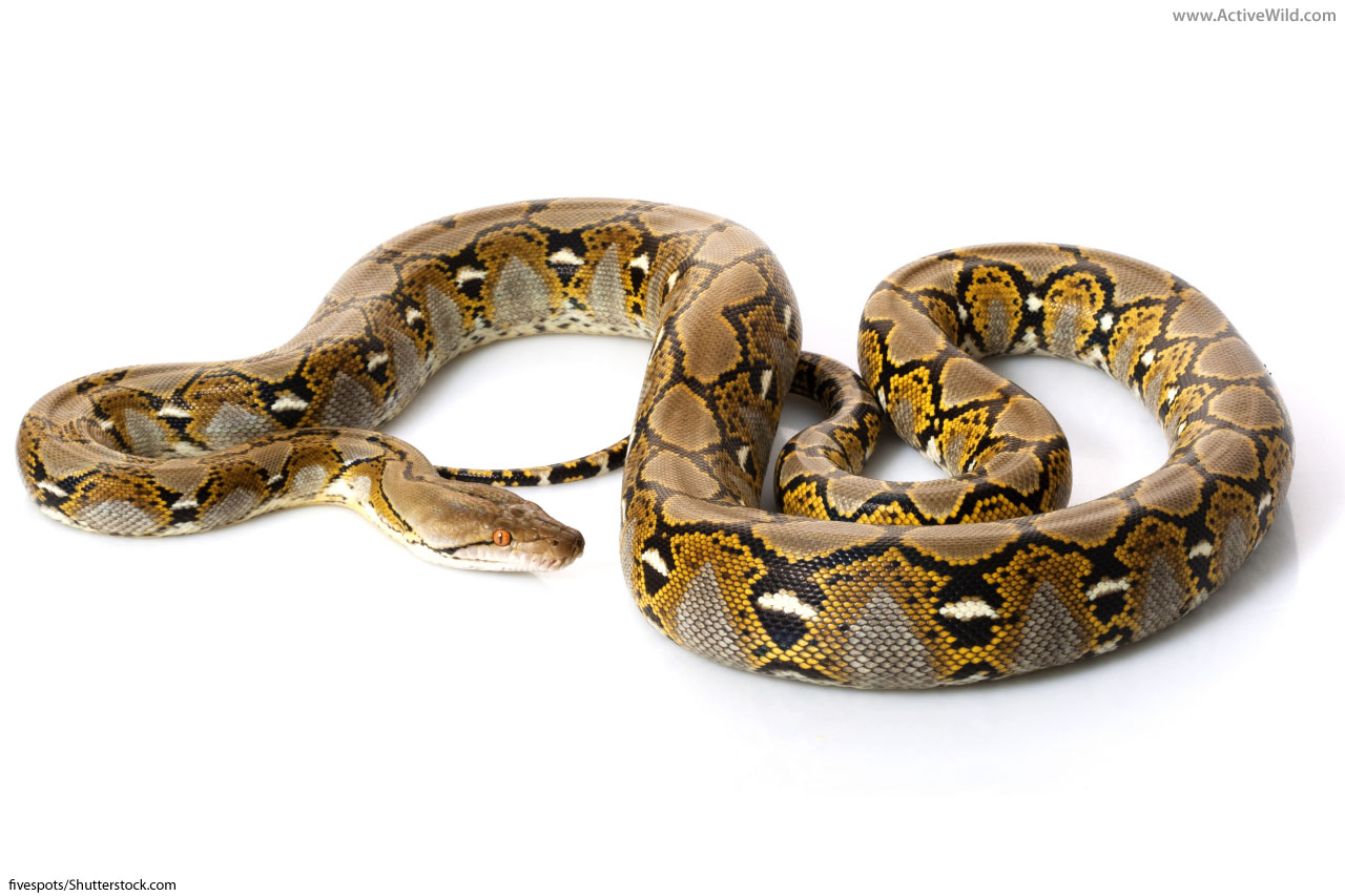 Reticulated Python Facts Amp Pictures The Longest Snake In