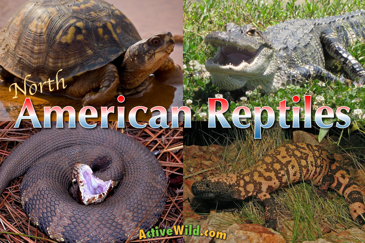 North American Reptiles List Reptiles Of The United