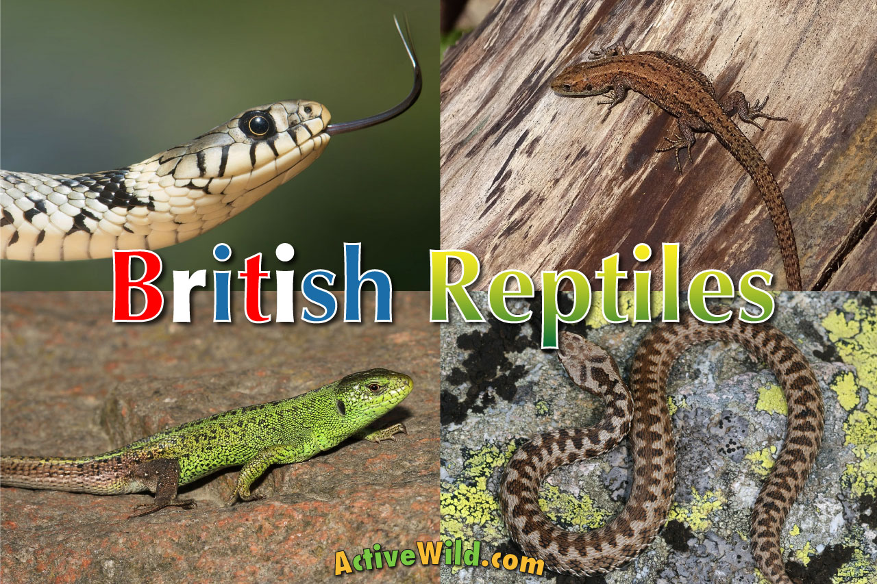 British Reptiles List Pictures Amp Facts Includes Every