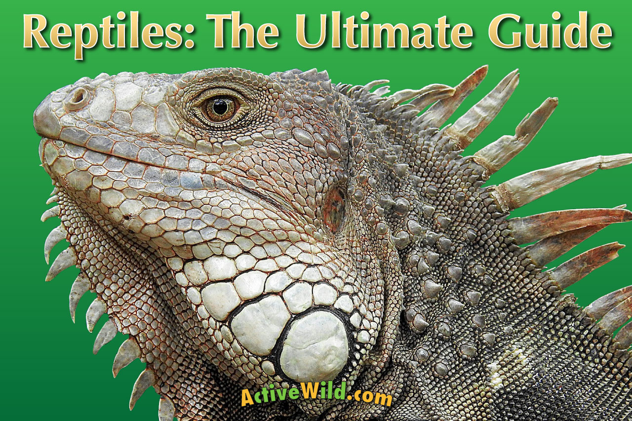 Reptiles The Ultimate Guide