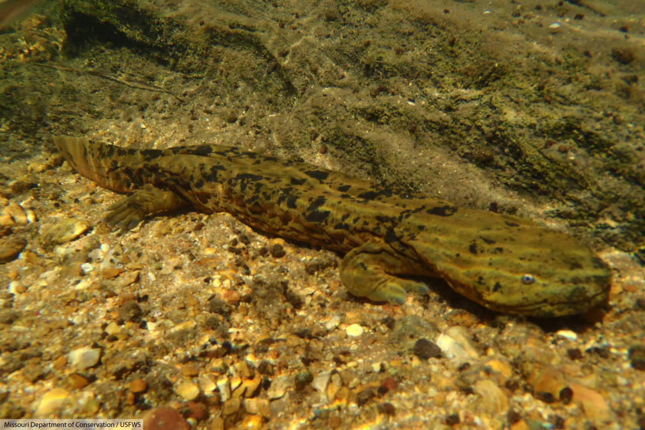 Hellbender Facts Pictures Amp In Depth Information