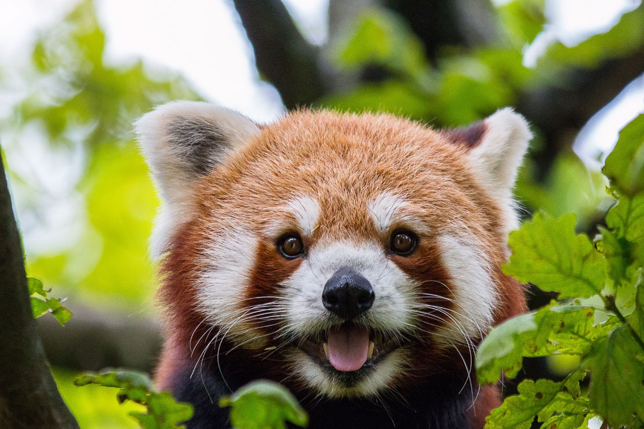 Red Panda Facts Pictures Amp Information The Panda That Isn T A Panda
