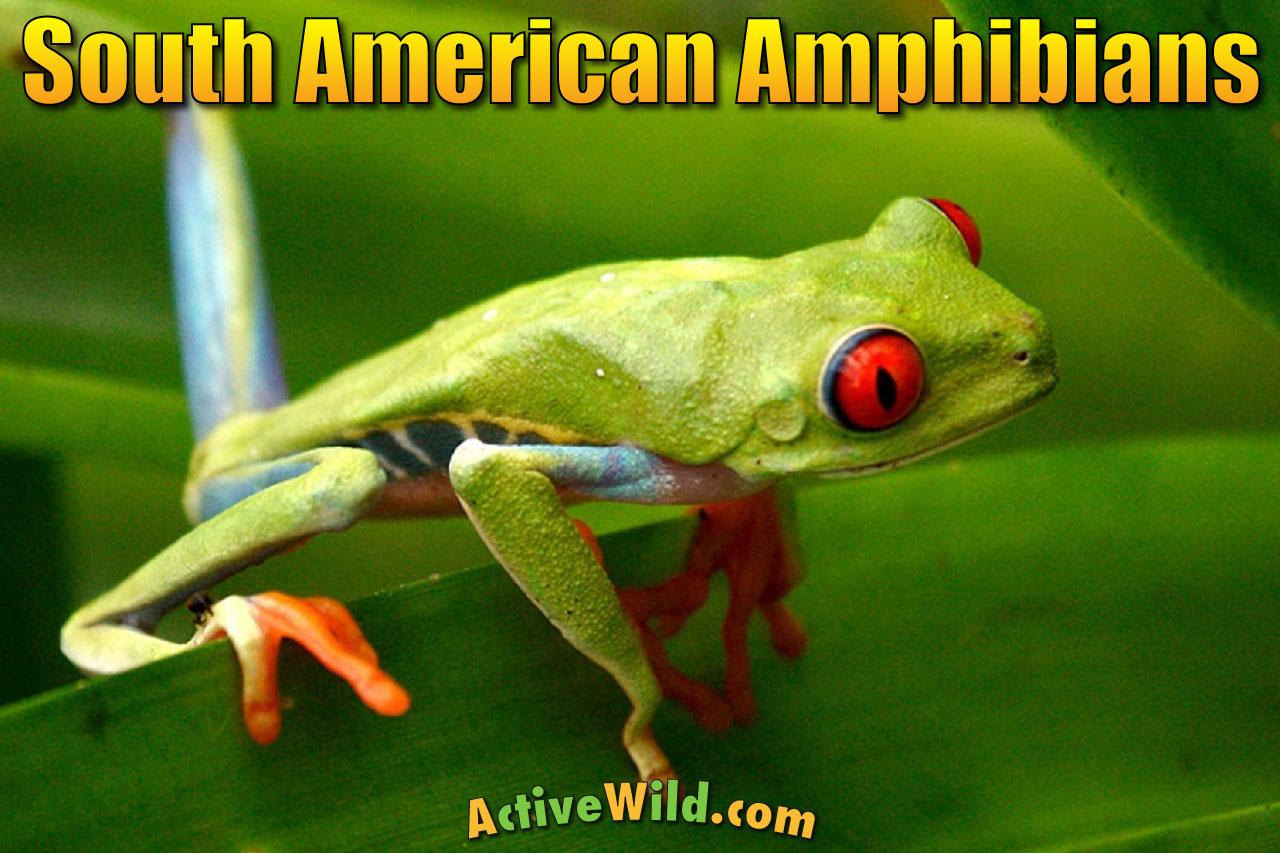 Amphibians Of South America South American Amphibian List