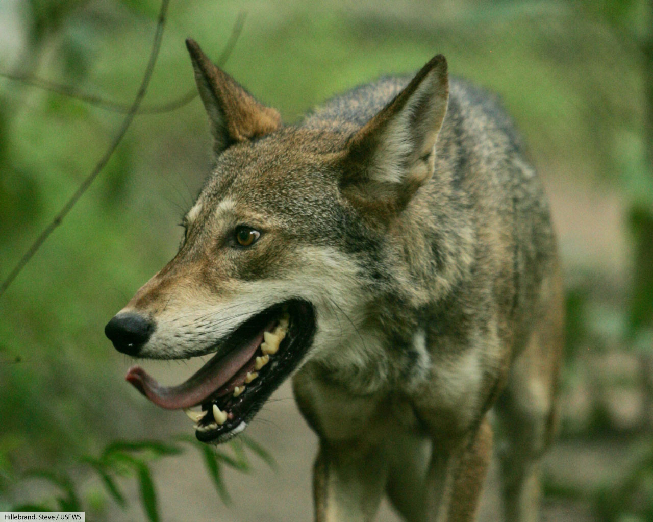 Red Wolf Facts Pictures Info Amp Video Complete Guide To