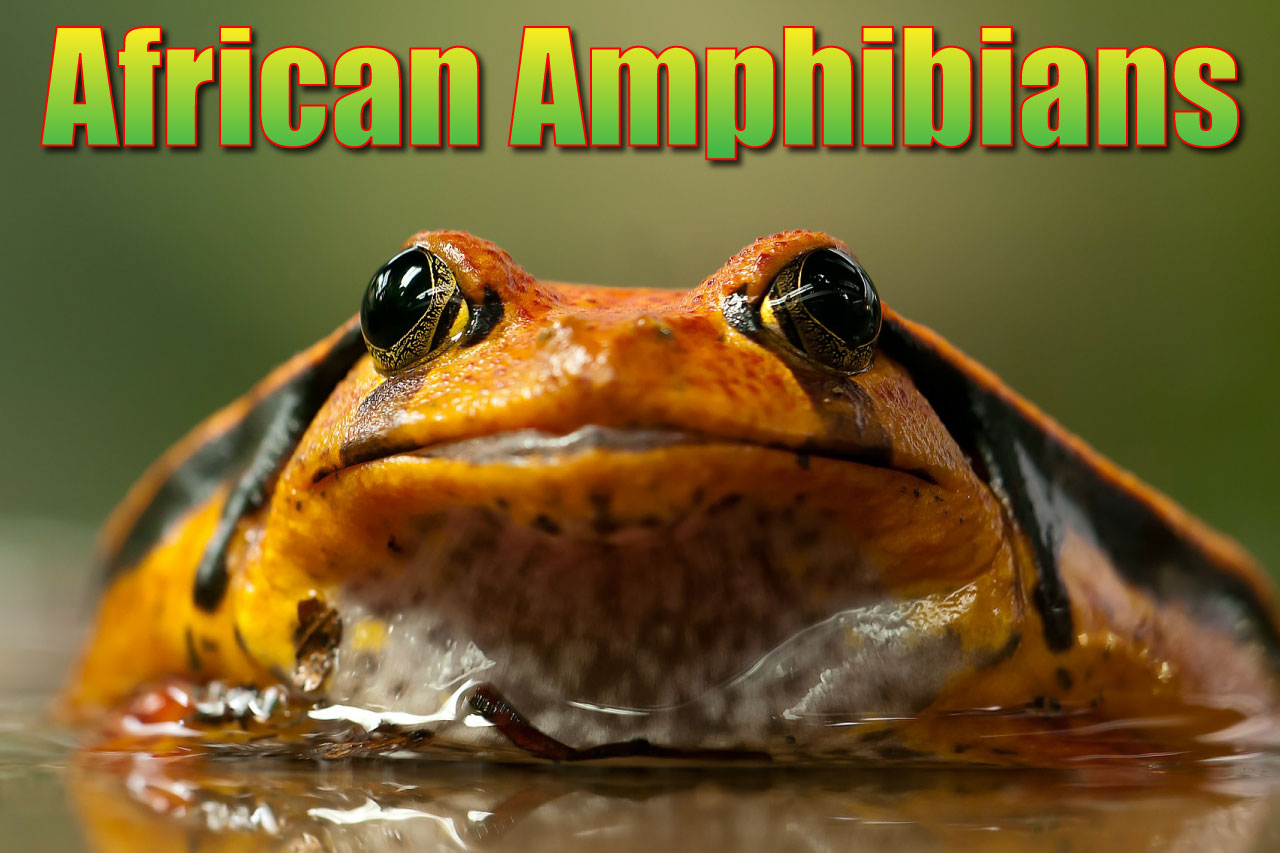 African Amphibians List With Pictures Amp Facts Amazing