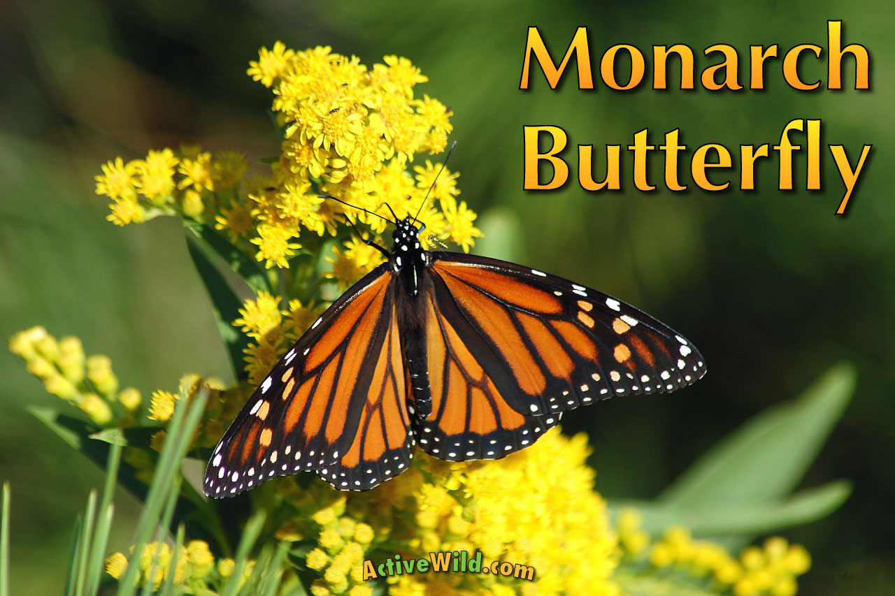 Monarch Butterfly Facts Pictures Amp Video Find Out About