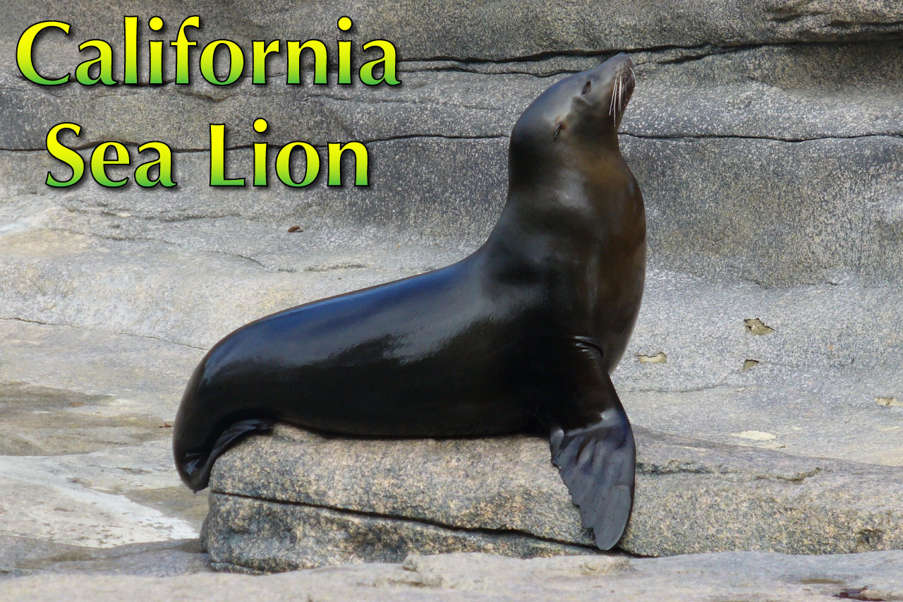 California Sea Lion Facts Pictures Video Amp In Depth Info