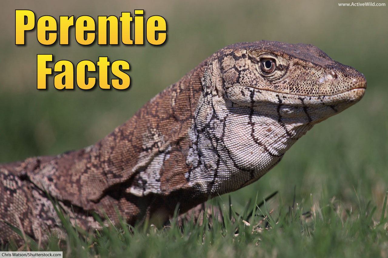 Perentie Facts Meet The Largest Lizard In Australia