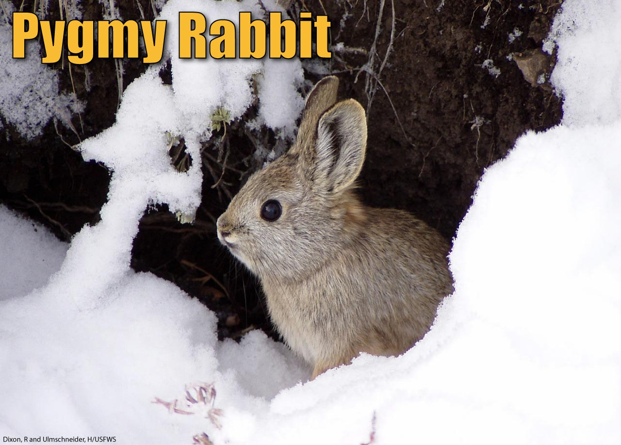Pygmy Rabbit Facts Pictures Amp Information The World S Smallest Rabbit