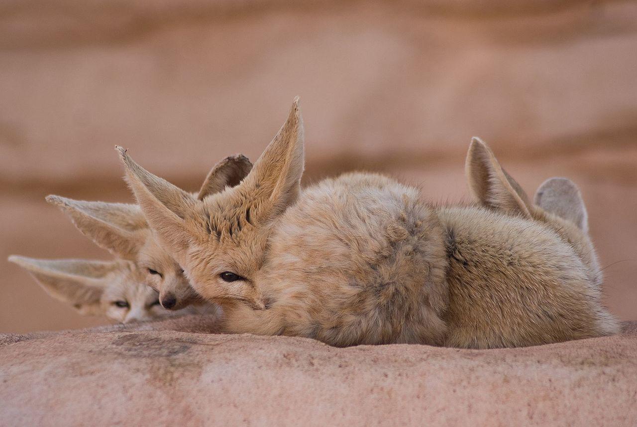 Fennec Fox Facts Pictures Amp Information African Desert Fox