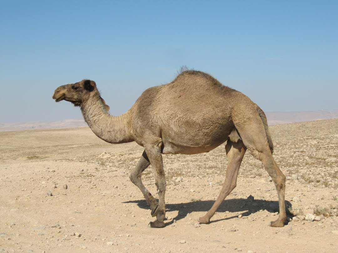 Desert Animals For Kids List With Pictures Amp Facts