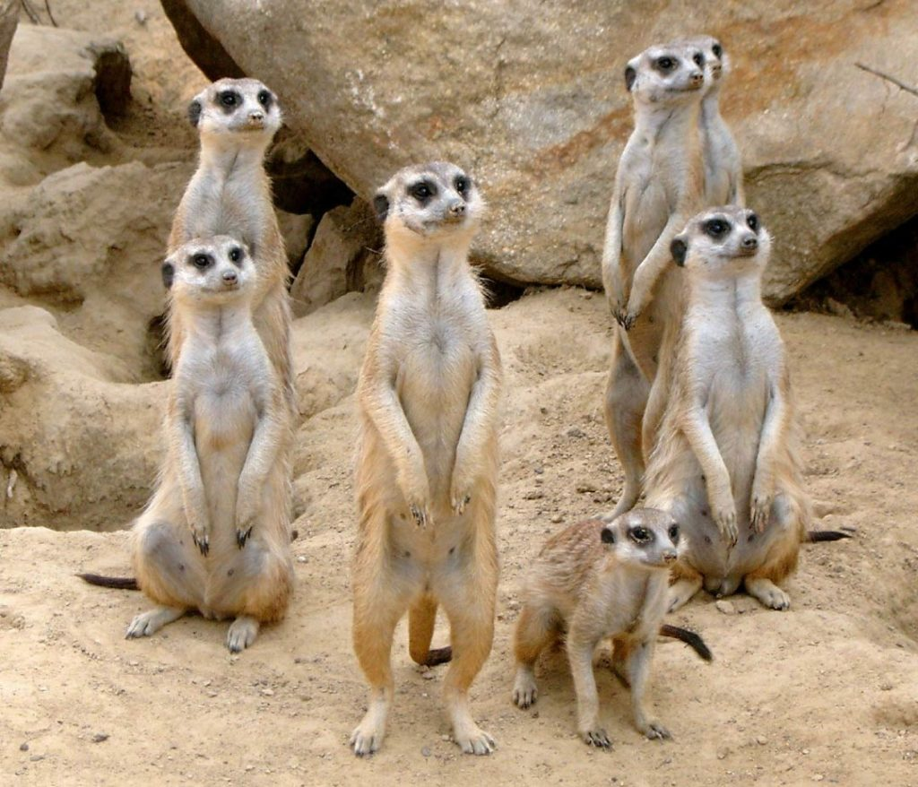 Meerkat Facts For Kids Amp Adults Pictures Video Amp In