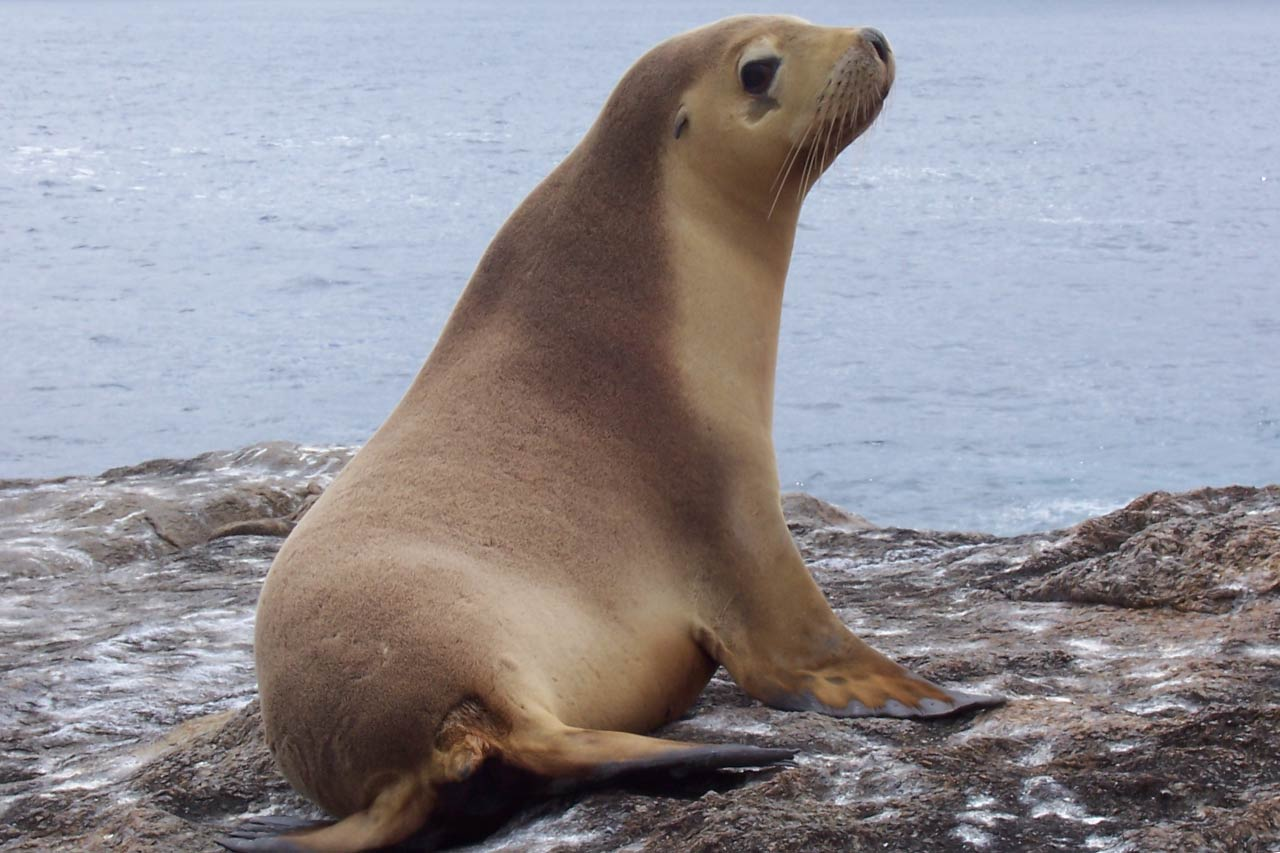 Australian Sea Lion Facts Pictures Video Amp In Depth