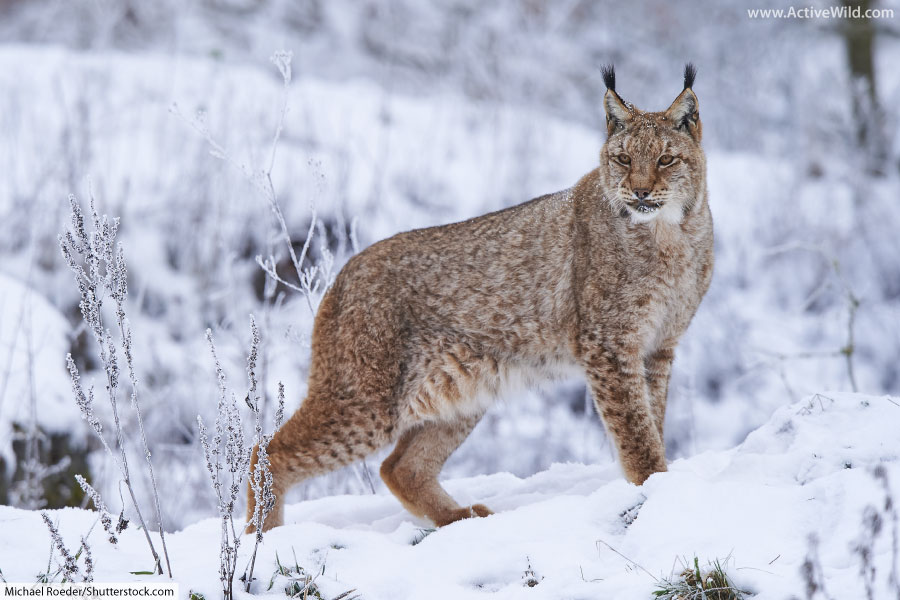The taiga is a forest of the cold, subarctic region. Taiga Animals List Of Animals That Live In The Taiga Biome With Pictures