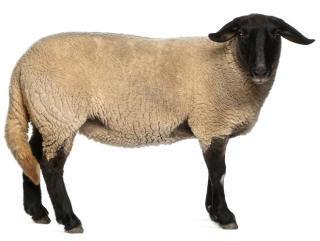 farm animals av2